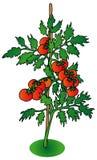 tła krzaka pomidorowy biel Zdjęcia Stock