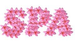tła kwiatów frangipani menchii biel Obraz Royalty Free