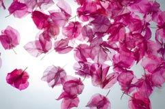 tła kwiatów menchie Zdjęcie Royalty Free
