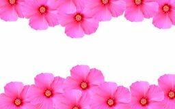 tła kwiatów menchii biel Zdjęcia Stock