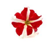 tła kwiatu biel Obrazy Royalty Free