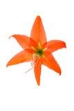 tła kwiatu hippeastrum hortorum biel Zdjęcie Royalty Free