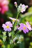 tła kwiatu menchie Fotografia Stock