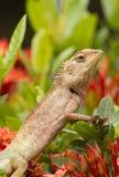 tła kwiatu ogródu iguana Fotografia Stock