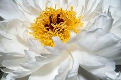 tła kwiatu peoni biel Zdjęcie Royalty Free
