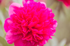 tła kwiatu peoni biel Zdjęcie Stock