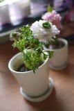 tła kwiatu peoni biel Fotografia Stock