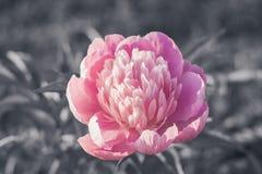tła kwiatu peoni biel Obraz Stock