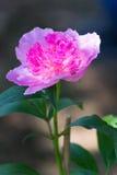 tła kwiatu peoni biel Obrazy Royalty Free