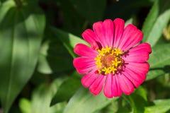 tła kwiatu zieleni cynie Obraz Royalty Free