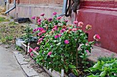 tła kwieciste kwiatów menchie Zdjęcia Royalty Free