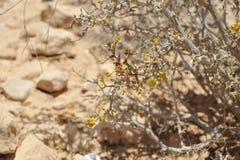 tła kwitnienia pustynia Zdjęcie Royalty Free