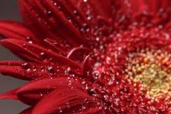 t?a naturalny pi?kny Lato, wiosen poj?cia Duże piękne wodne krople na świeżym czerwonym Gerber kwitną na ciemnym tle obrazy stock