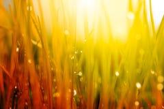 tło abstrakcyjna natura Jesieni trawa z wodnymi kroplami Fotografia Royalty Free