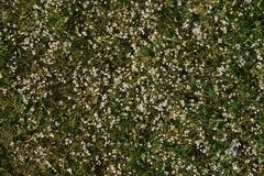 Tło bardzo mali biali kwiaty Fotografia Stock