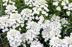 Tło biali kwiaty Zdjęcia Stock