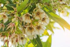 Tło Biali kwiaty Elaeocarpus grandiflorus w Thail Zdjęcie Royalty Free
