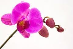 tło biel odosobniony storczykowy purpurowy Obrazy Royalty Free