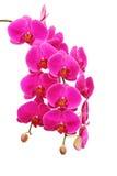 tło biel odosobniony storczykowy purpurowy Obrazy Stock