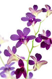 tło biel odosobniony storczykowy purpurowy Zdjęcia Stock