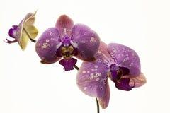 tło biel storczykowy purpurowy Zdjęcie Royalty Free