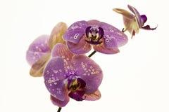 tło biel storczykowy purpurowy Obraz Stock