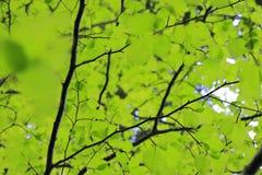Tło bukowy ulistnienie w lesie zdjęcia stock