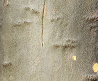 Tło Drzewna barkentyna Zdjęcia Stock