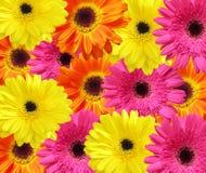 Tło gerbera kwiat Obraz Stock