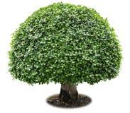tło ilustracyjnego pojedynczy obrazu drzewny white wektor Fotografia Royalty Free