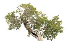 tło ilustracyjnego pojedynczy obrazu drzewny white wektor Obraz Royalty Free