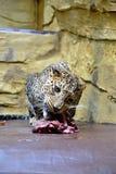 Tło jaguar Zdjęcie Royalty Free