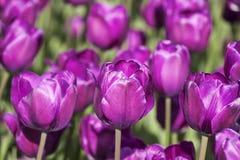 Tło jaskrawi Burgundy tulipany Zdjęcie Royalty Free