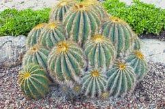 Tło kaktus Zdjęcie Stock