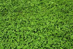 Tło koniczyny trawa Obraz Stock