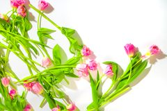 t?o kraw?dzi kwiat wiosny ogniska daleko tulipan Delikatni różowi tulipany na białym tle Naturalni kosmetyki dla kobiet Gratulacj obraz royalty free
