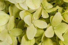 Tło kwiat hortensj paniculata Obrazy Royalty Free