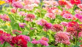 Tło kwiaty, kolorowi cynie obrazy royalty free
