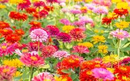 Tło kwiaty, kolorowi cynie zdjęcia stock
