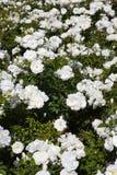 tło kwitnie biel obrazy stock