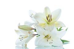 tło kwitnie leluja glansowanego biel dwa Obrazy Stock