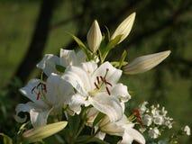 tło kwitnie leluja glansowanego biel dwa Obraz Stock