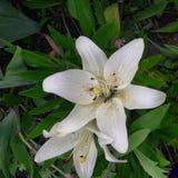 tło kwitnie leluja glansowanego biel dwa Zdjęcie Stock