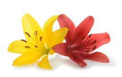 t?o kwitnie leluja glansowanego biel dwa zdjęcie stock