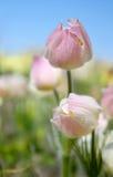 tło kwitnie wiosna Obraz Royalty Free