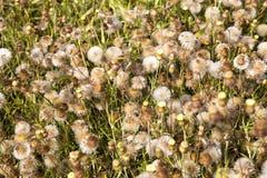 Tło lotniczy dandelions pole w lecie Obrazy Stock