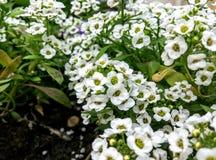 Tło mali biali kwiaty Zdjęcia Stock