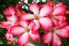 Tło od czerwonego kwiatu Obraz Stock