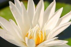 Tło od lotosowego kwiatu Obrazy Royalty Free