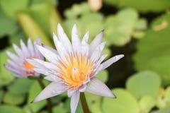 Tło od purpurowego lotosu Obraz Stock
